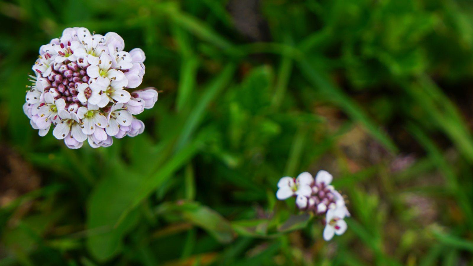 Aéthionéma des Rochers - Aethionema Saxatile