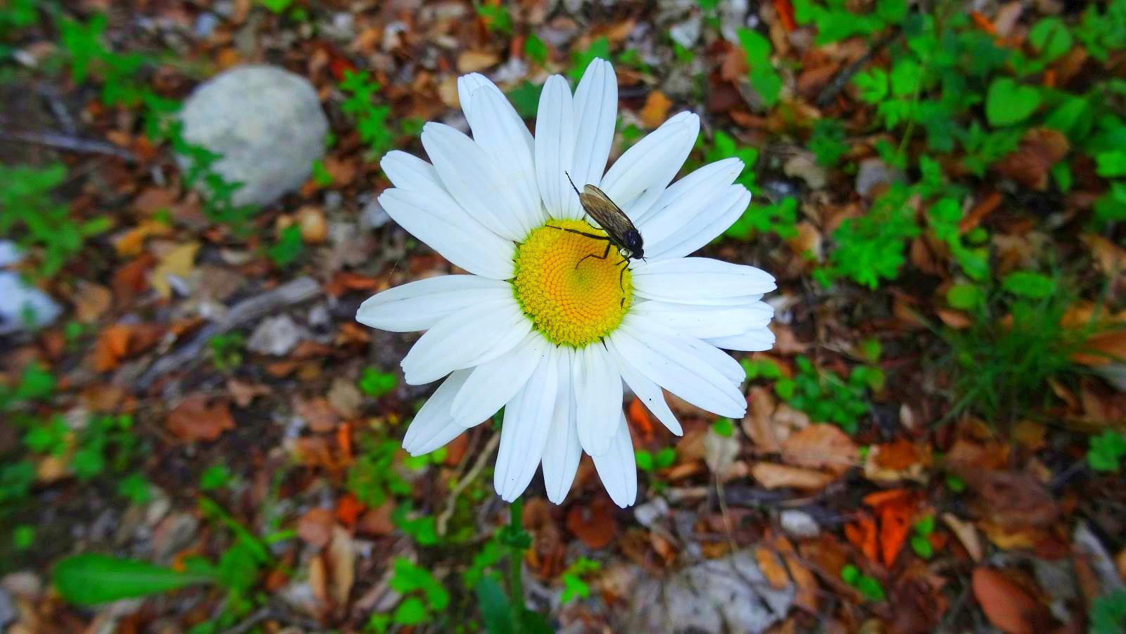 Marguerite - Leucanthemum Vulgare