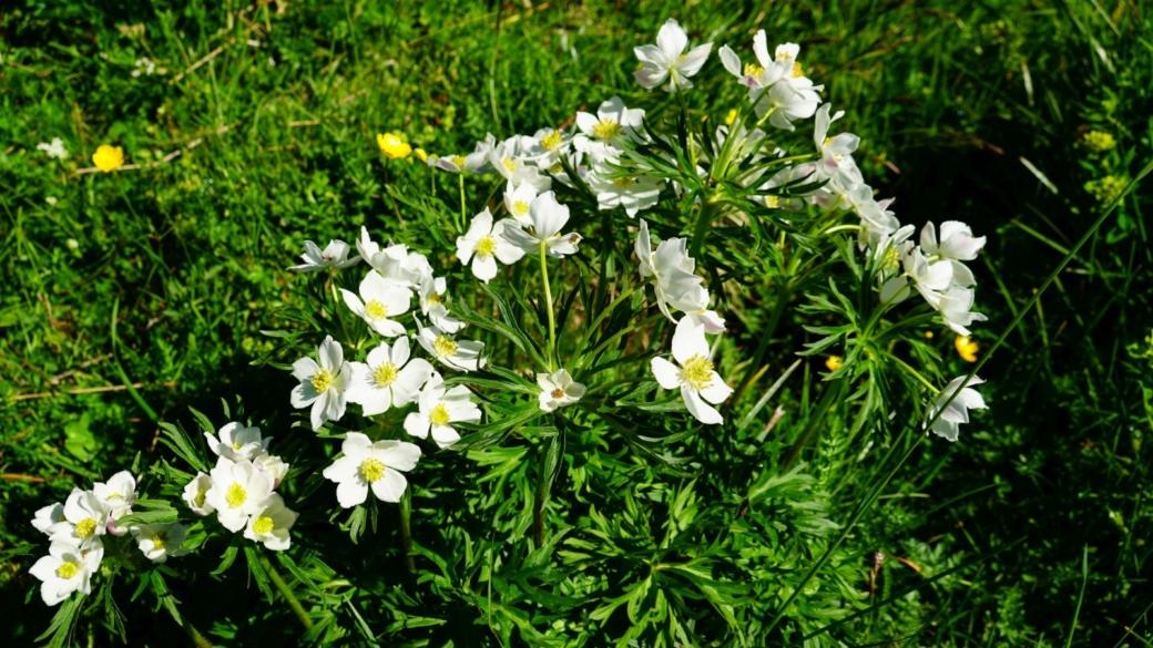 Anémone à fleurs de narcisse - Anemone Narcissiflora