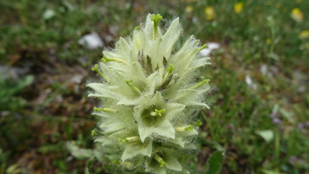 Campanule en Thyrse - Campanula Thyrsoides