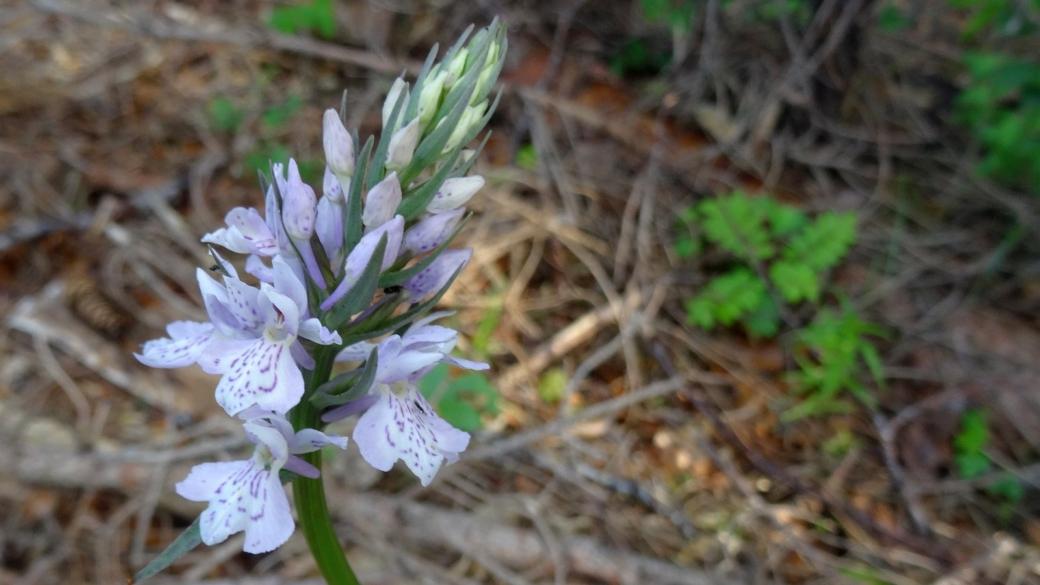 Dactylorhize de Fuchs - Dactylorhiza Fuchsii