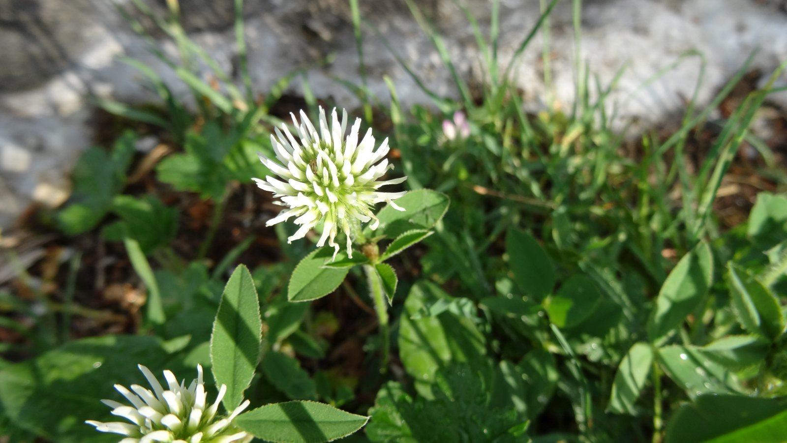 Trèfle jaunâtre - Trifolium Ochroleucon