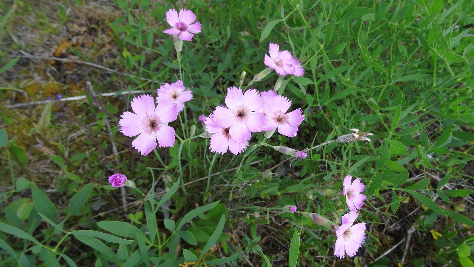 Oeillet des Bois - Dianthus Saxicola
