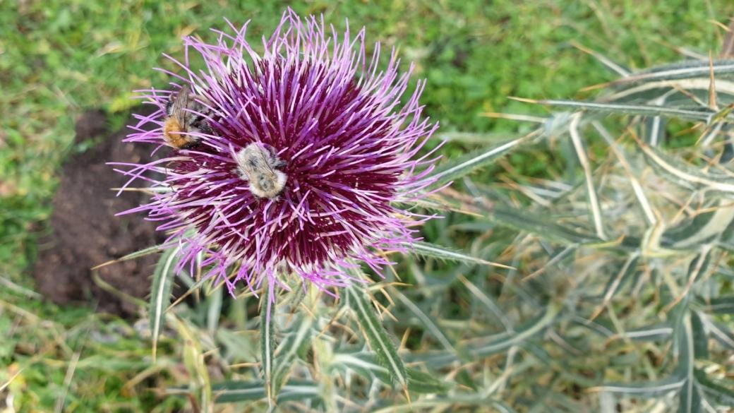 Cirse Capitule Laineux - Cirsium Eriophorum