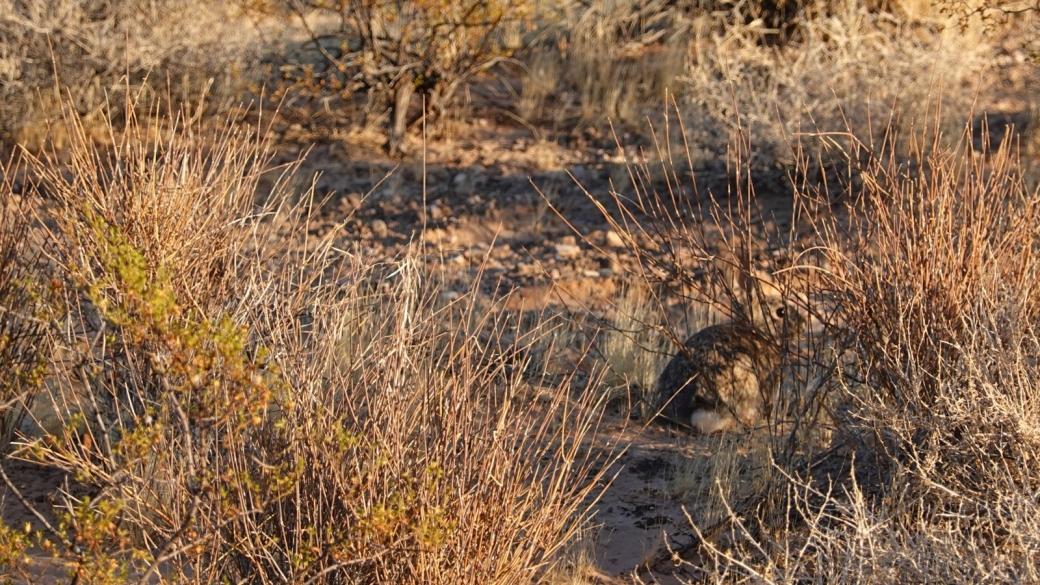 Desert Cottontail - Sylvilagus Audubonii