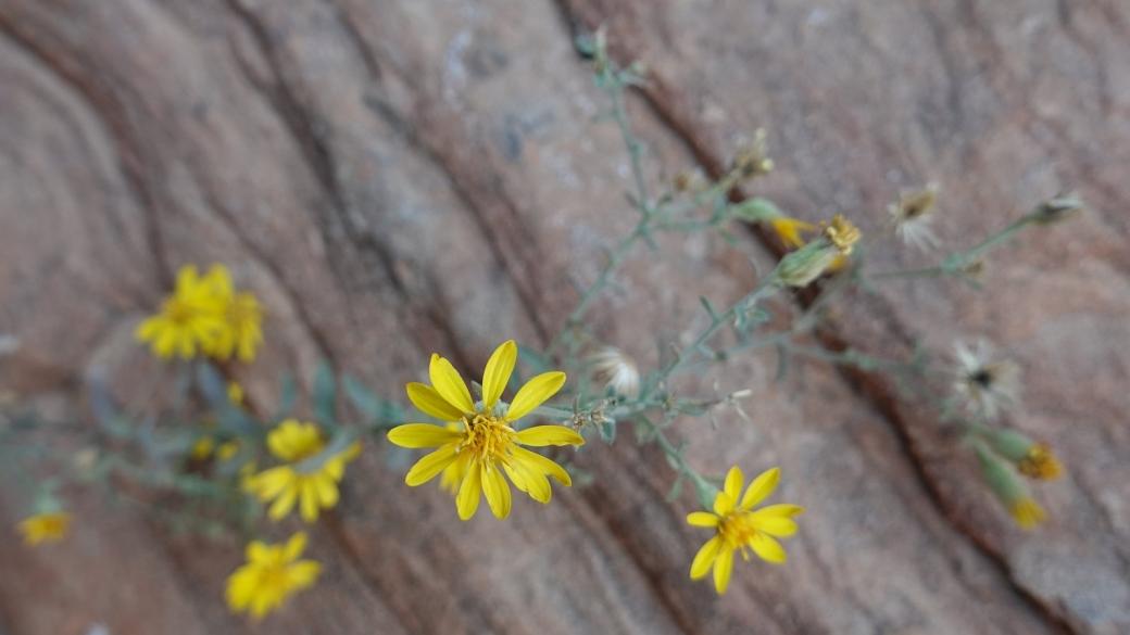 Thread-leaf Ragwort - Senecio Flaccidus
