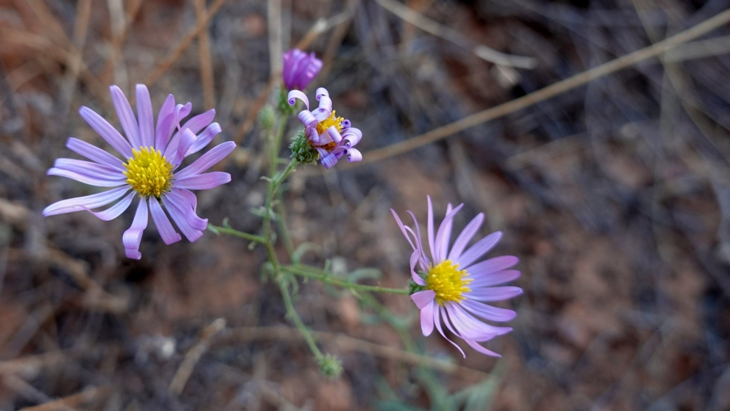 Hoary Tansyaster - Dieteria Canescens