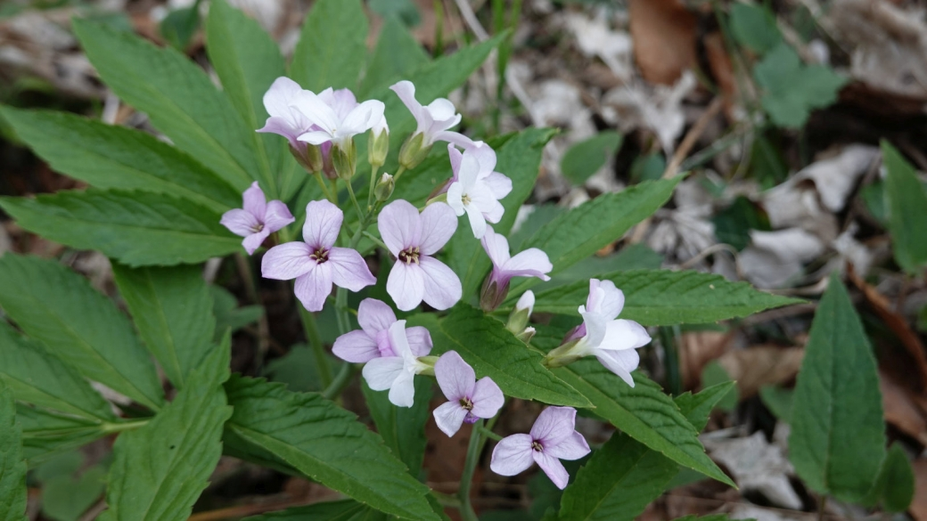 Cardamine à Sept Folioles - Cardamine Heptaphylla