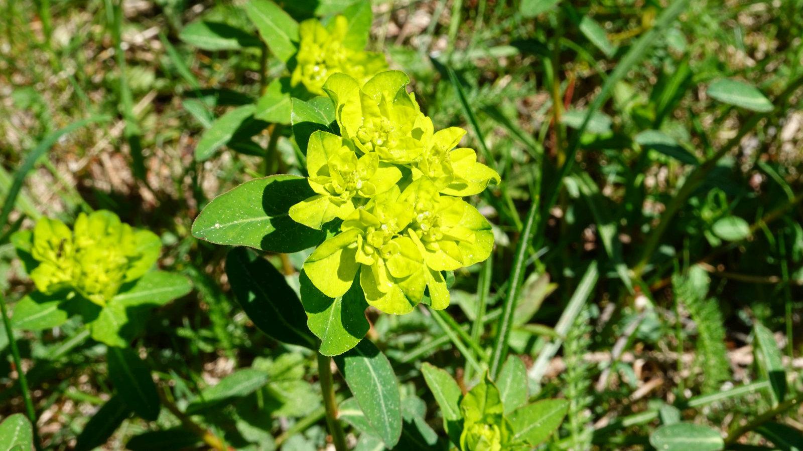 Euphorbe Verruqueuse – Euphorbia Flavicoma
