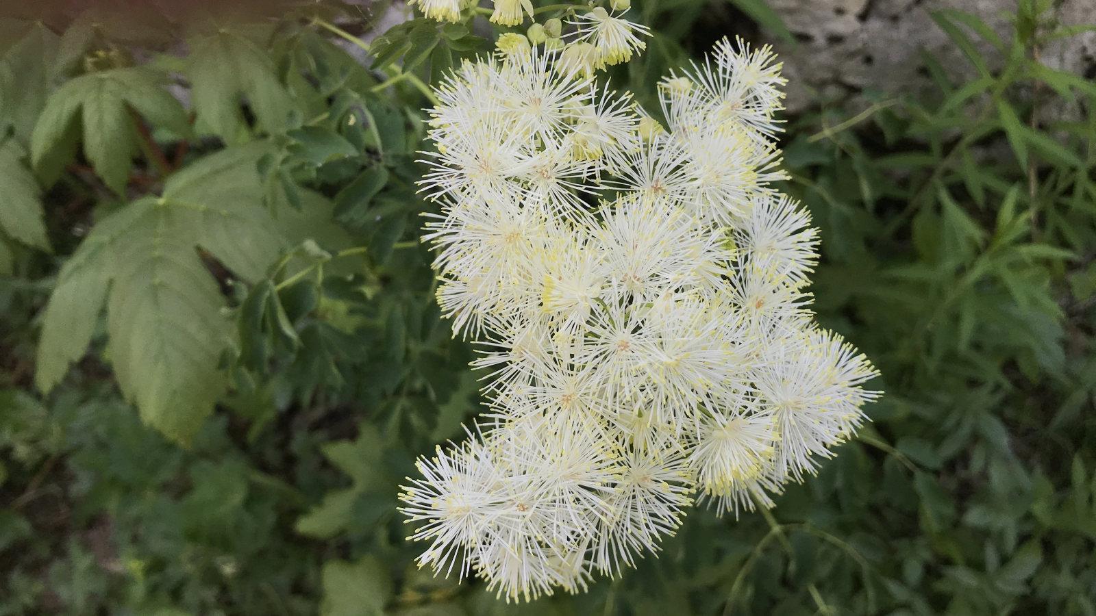 Pigamon à Feuilles d'Ancolie – Thalictrum Aquilegiifolium