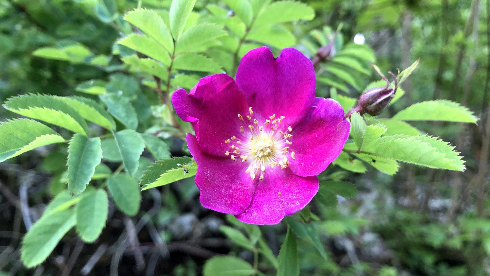 Eglantier – Rosa Canina