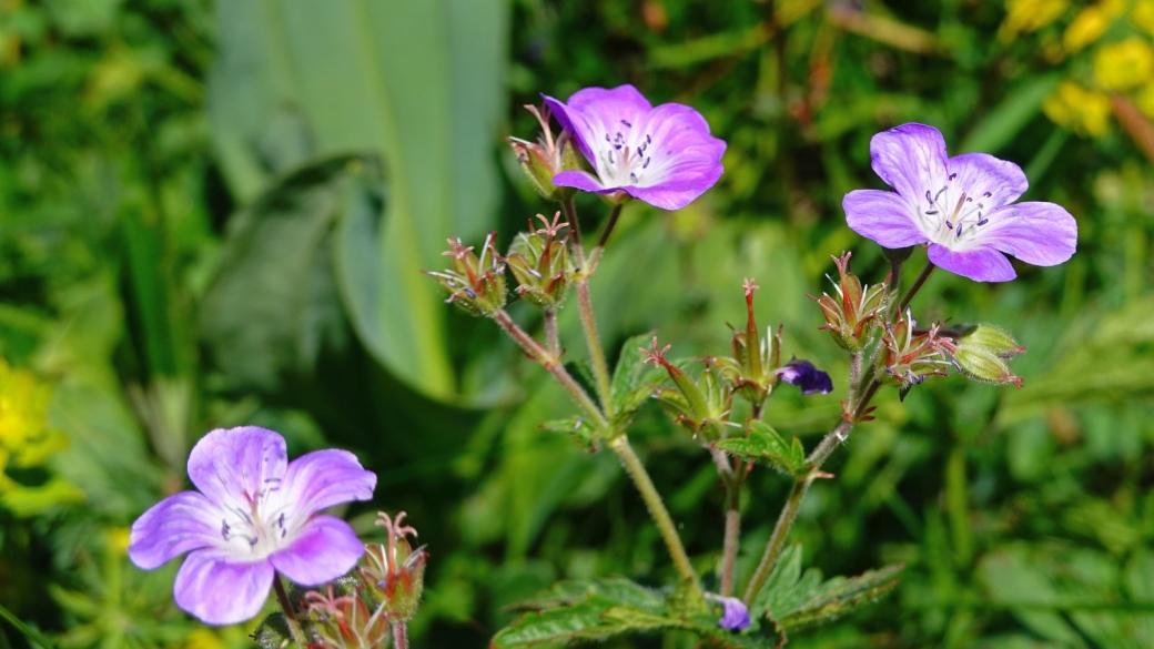 Géranium des Bois - Geranium Sylvaticum