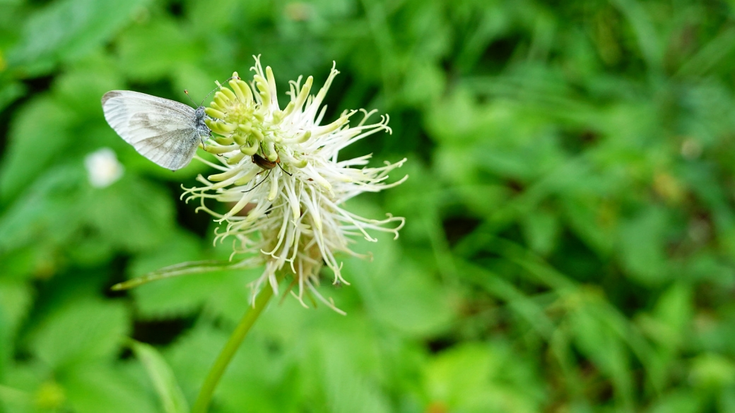 Raiponce en Epi - Phyteuma Spicatum