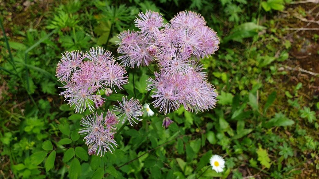 Pigamon à Feuilles d'Ancolie - Thalictrum Aquilegiifolium