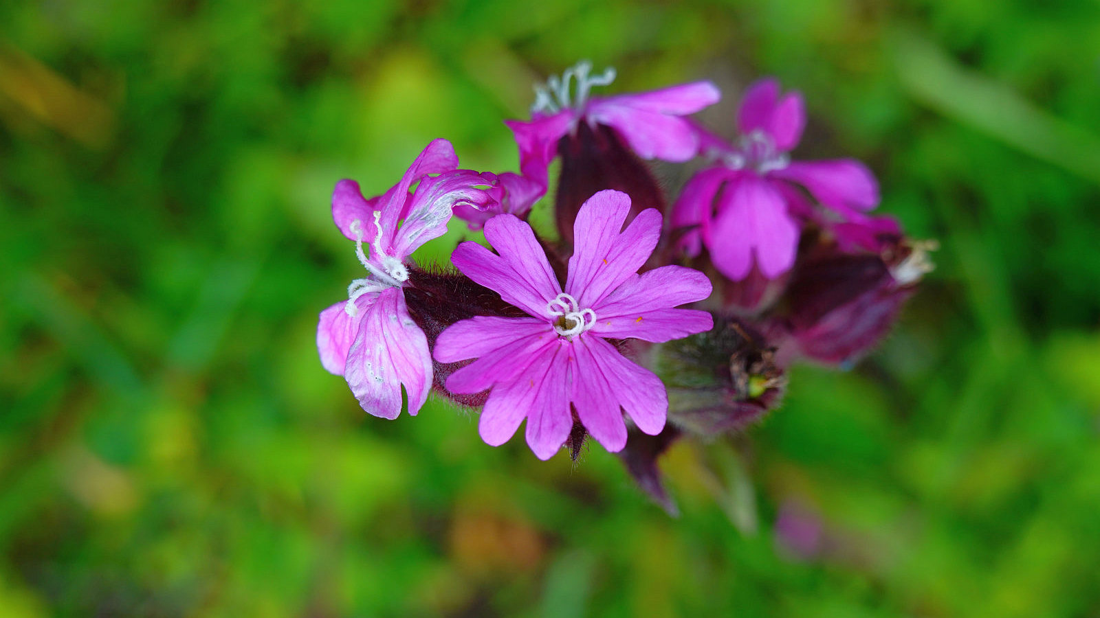 Compagnon Rouge – Silene Dioica
