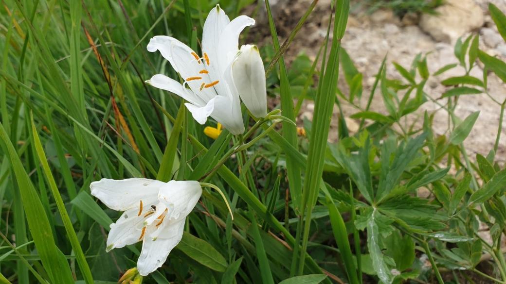 Lis des Alpes - Paradisea Liliastrum