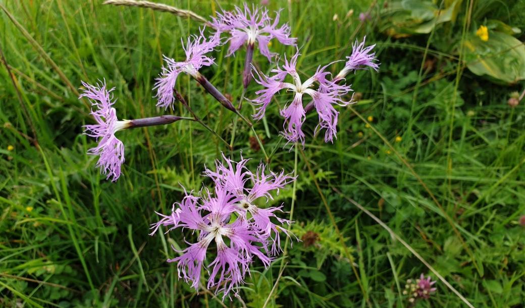 Oeillet Superbe - Dianthus Superbus