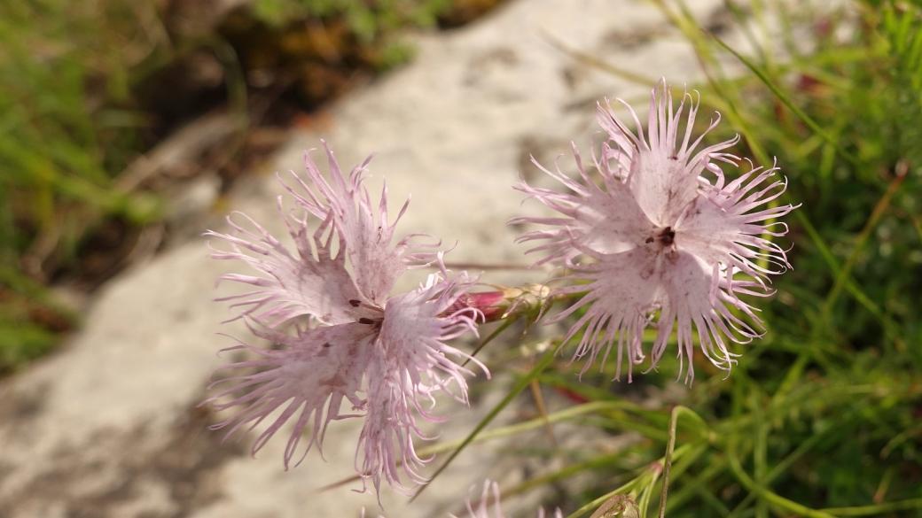 Oeillet de Montpellier - Dianthus Hyssopifolius