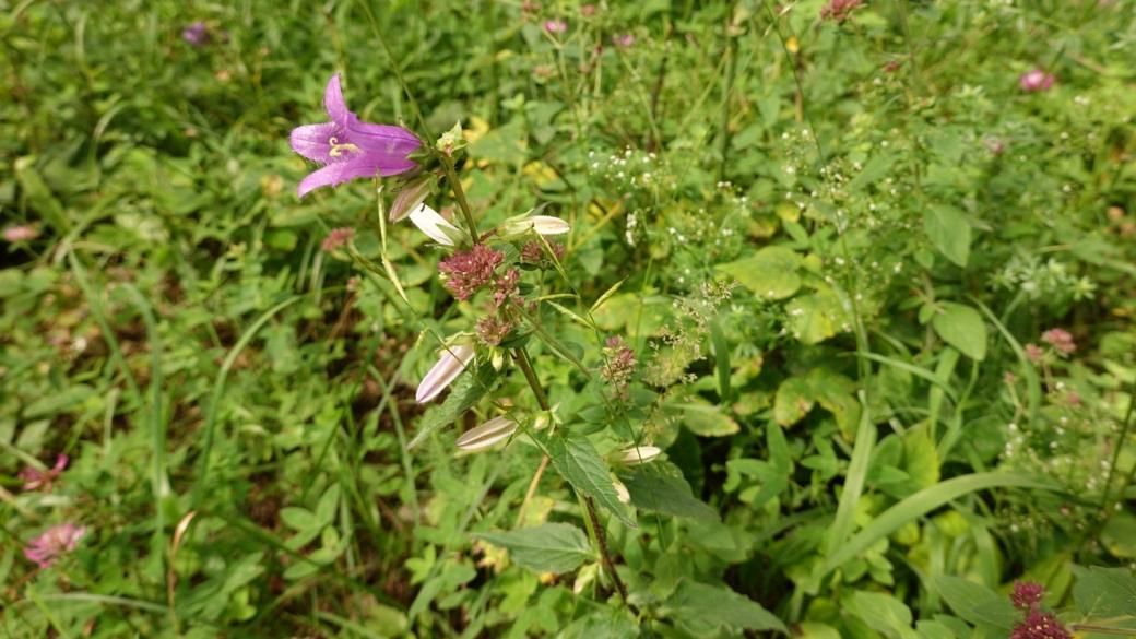 Campanule à Feuille d'Ortie - Campanula Trachelium